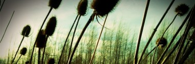 teasel by mm